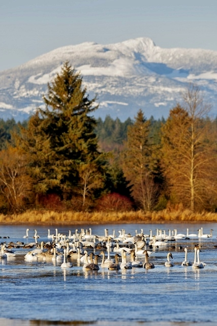 Wintertime finds a gathering of Trumpeter Swans (Cygnus buccinator) relaxing on a pond with Mt. Washington in the background.