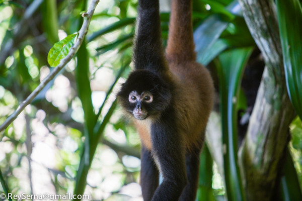 spider monkey at the Osa Wildlife Sanctuary Costa Rica
