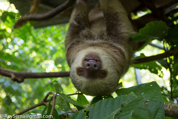 two-toed sloth at the Osa Wildlife Santuary Costa Rica