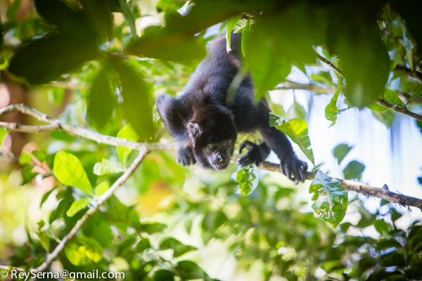 howler monkey at the Osa Wildlife Sanctuary Costa Rica