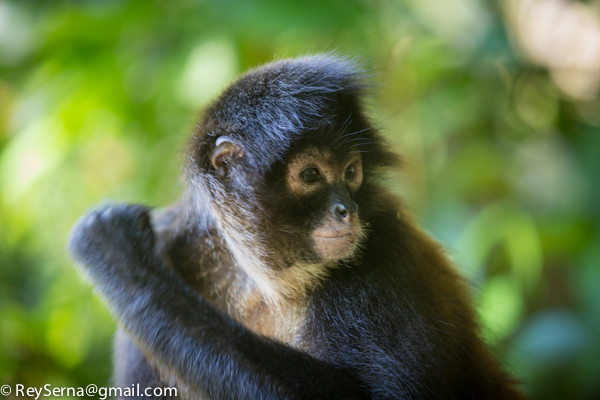 spider monkey at the Osa Wildlife Sanctuary in Costa Rica