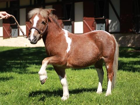 馬の種類 ポニー種