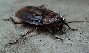 Las cucarachas han sido identificadas como transmisores de alergias asociándose al asma. La fuente causante de la alergia a las cucarachas está en su cuerpo, secreciones, huevos y defecaciones que se encuentran en el polvo de la casa.