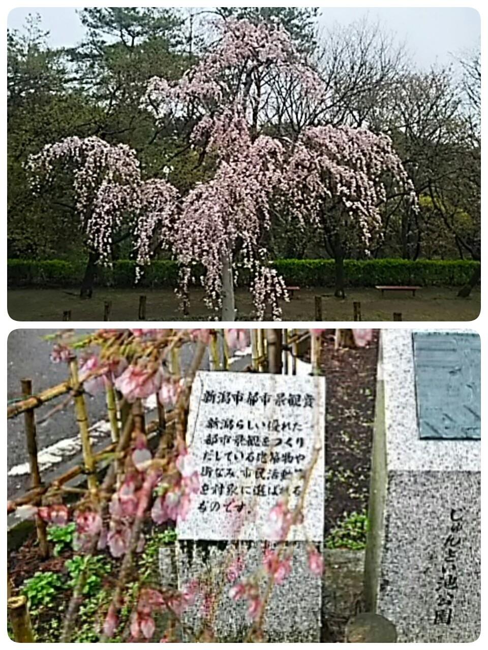 じゅんさい池公園の垂れ桜❤