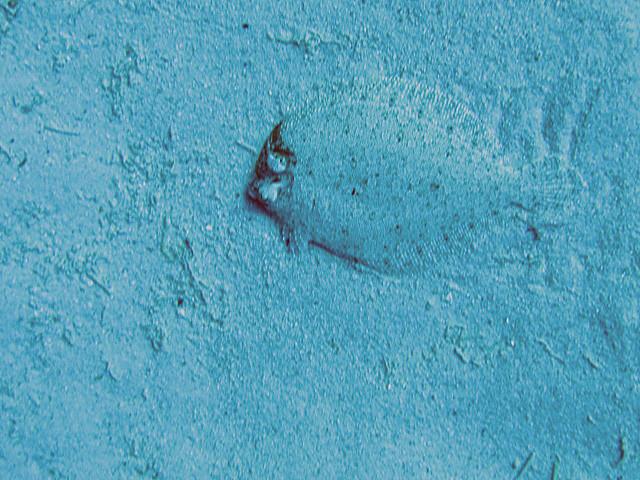 Seezunge