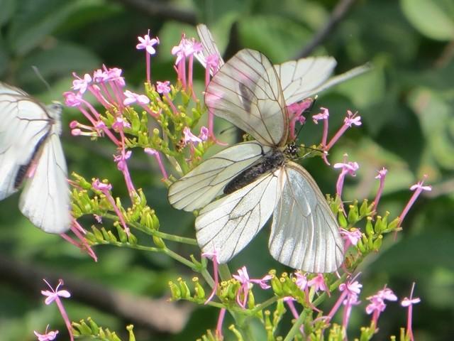 Mit fast durchsichtigen Flügeln
