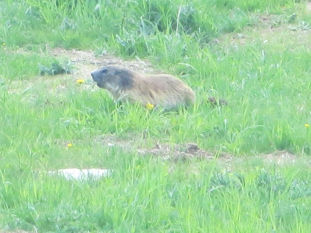 Murmeltiere  beim fressen