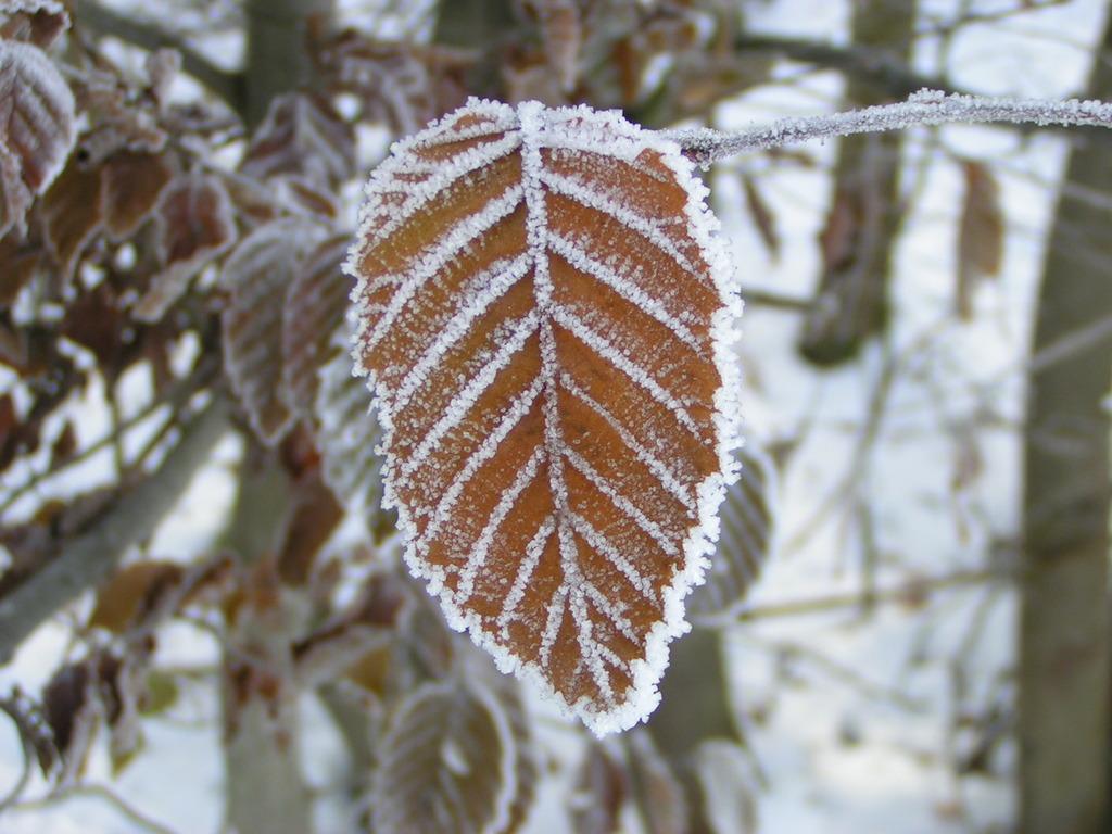Frost auf einem Buchenblatt
