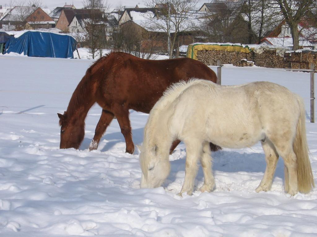 2 Pferde auf der Weide in Bittelbronn