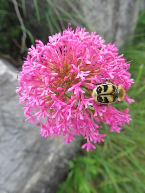 Käfer mit Augen auf den Flügeln
