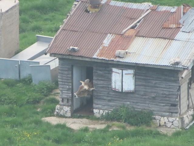 Eine Kuh beim Hausbesuch