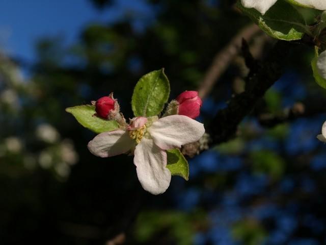 Die frühe Apfelblüte .......