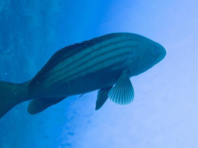Der gestreifter Zackenbarsch ( Kas ) schwamm dann einfach an mir vorbei