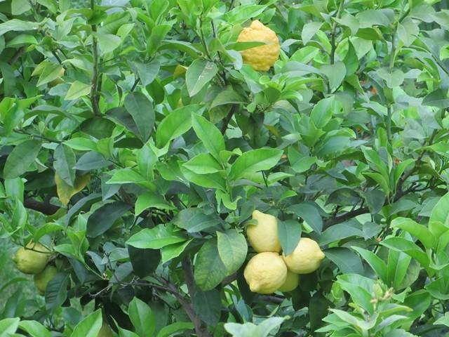 Da stand ein schöner Zitronenbaum