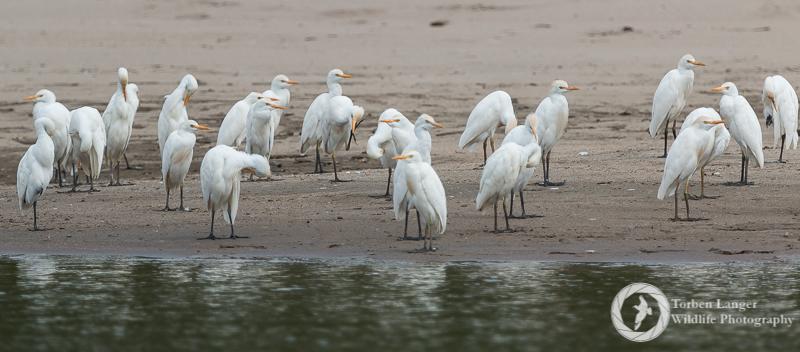 Bubulcus ibis / Cattle Egret / Kuhreiher