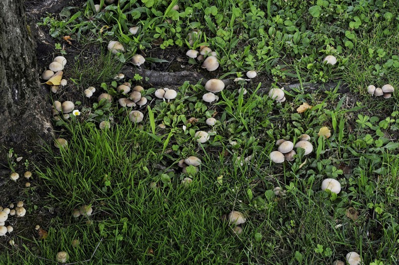 Psathyrella candolleana (Fr.) Maire (COMMESTIBILE) Foto Emilio Pini