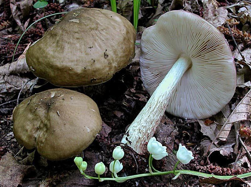 Pluteus cervinus (Schaeff.) P. Kummer (NON COMMESTIBILE) Foto Emilio Pini