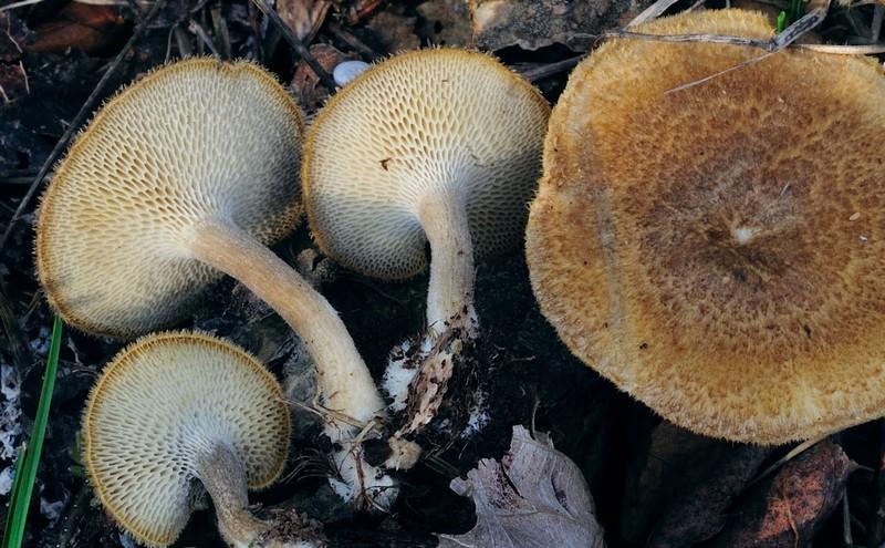 Polyporus arcularius (Batsch) Fries (NON COMMESTIBILE) Foto Emilio Pini