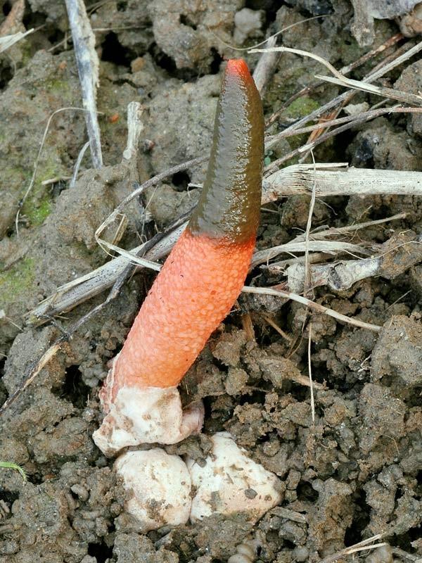 Mutinus elegans (Mont.) E. Fisch. (NON COMMESTIBILE)) Foto Emilio Pini