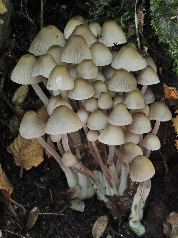 Mycena inclinata (Fr.) Quélet (NON COMMESTIBILE) Foto Emilio Pini