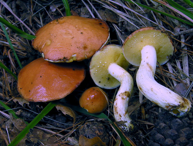 Suillus granulatus (L.) Roussel (COMMESTIBILE)    Foto Emilio Pini
