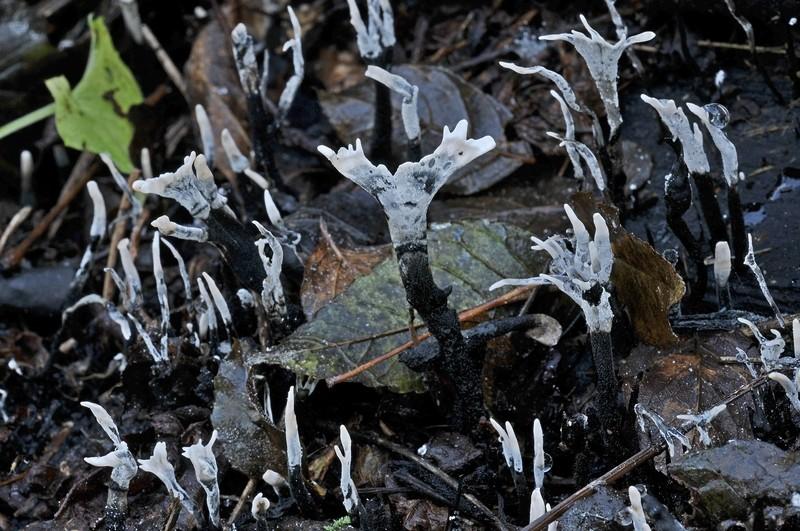 Xylaria hypoxylon (L.) Greville (NON COMMESTIBILE)   Foto Emilio Pini