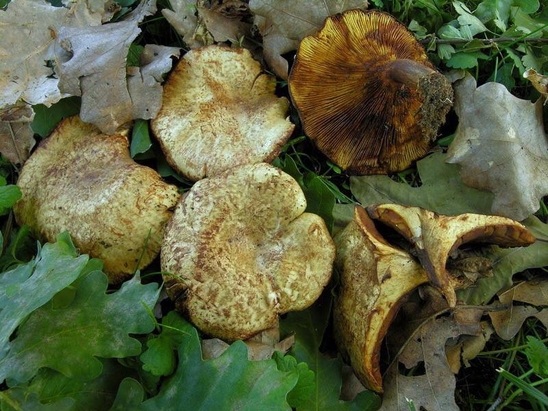 Paxillus filamentosus (Scop.) Fies (VELENOSO) Foto Emilio Pini