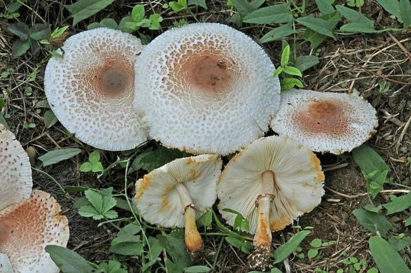 Leucoagaricus bresadolae (Schulzer) Bon & Boiffard (VELENOSO) Foto Emilio Pini