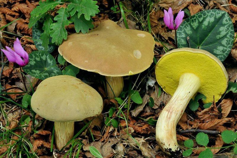 Xerocomus subtomentosus (L.) Quélet (COMMESTIBILE)   Foto Emilio Pini