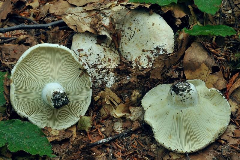 Russula chloroides (Krombh.) Bresadola (NON COMMESTIBILE)              Foto Emilio Pini