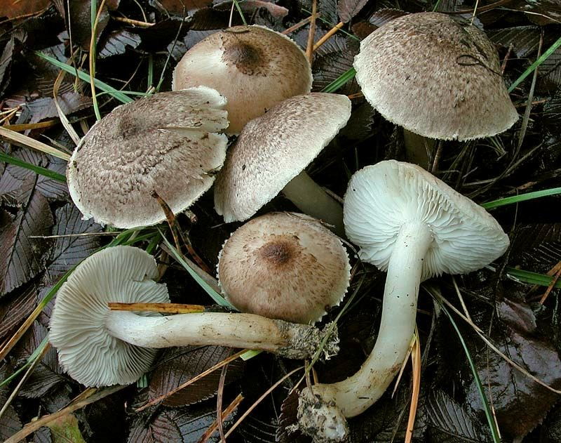 Tricholoma scalpturatum (Fr.) Quélet (COMMESTIBILE)    Foto Emilio Pini