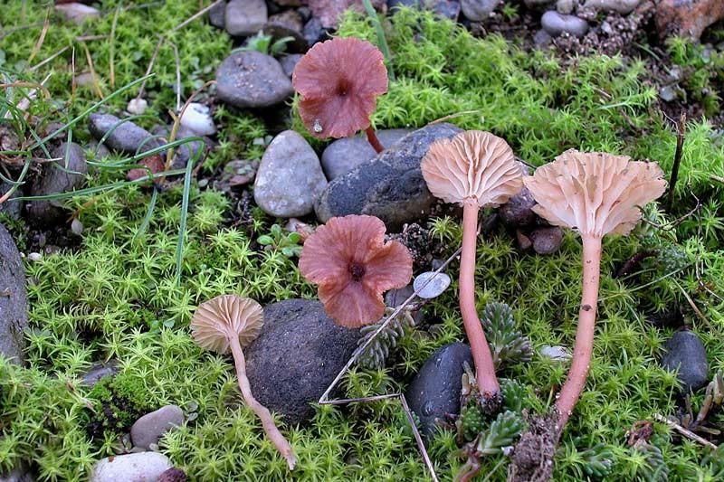 Omphalina galericolor (Romagn.) Bon (NON COMMESTIBILE) Foto Emilio Pini
