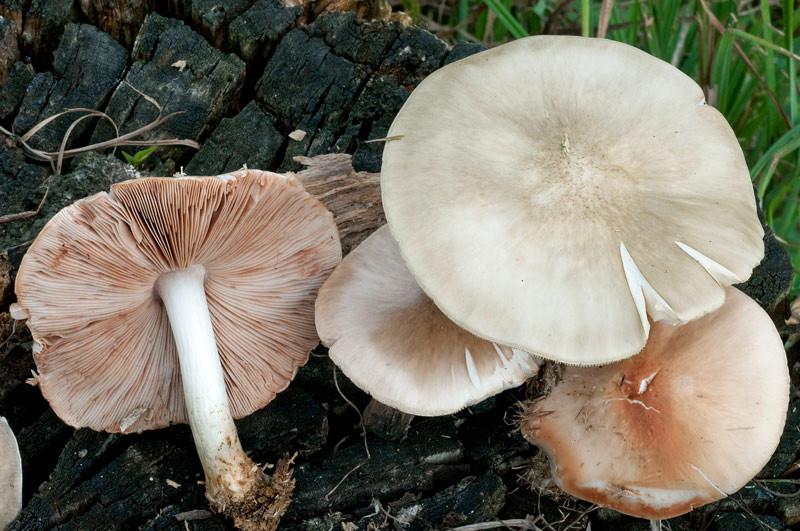 Pluteus petasatus (Fr.) Gillet (NON COMMESTIBILE) Foto Emilio Pini