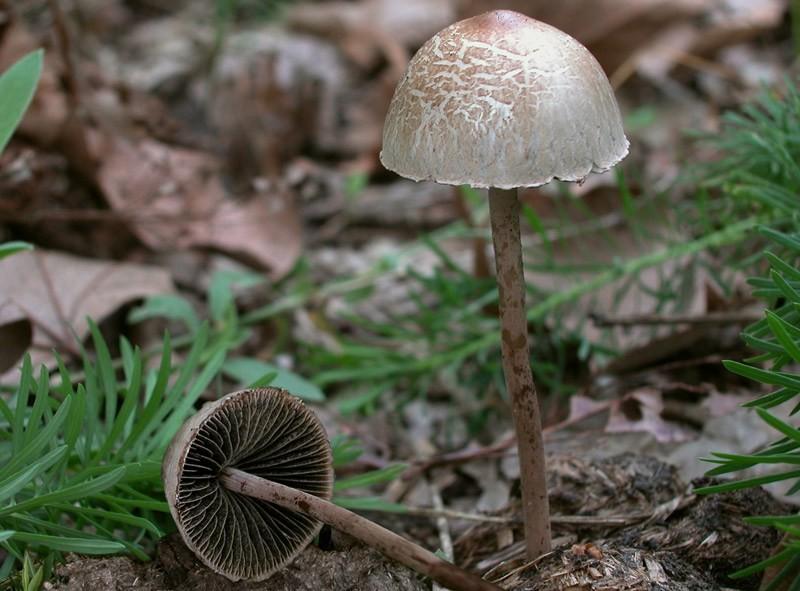 Panaeolus campanulatus (L.) Quélet (NON COMMESTIBILE) Foto Emilio Pini
