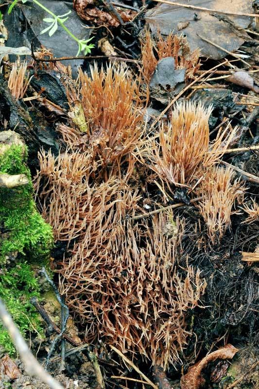 Pterula multifida (Chevall.) Fries (NON COMMESTIBILE)  Foto Emilio Pini