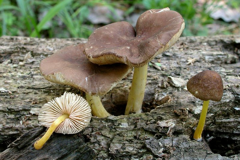 Pluteus romellii (Britzelm.) Saccardo (NON COMMESTIBILE) Foto Emilio Pini