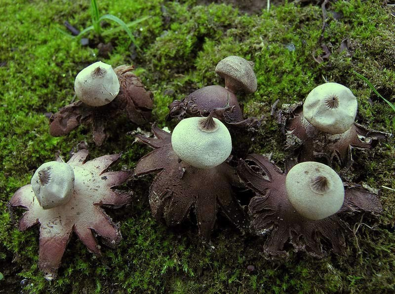 Geastrum campestre Morgan (NON COMMESTIBILE) Foto Emilio Pini