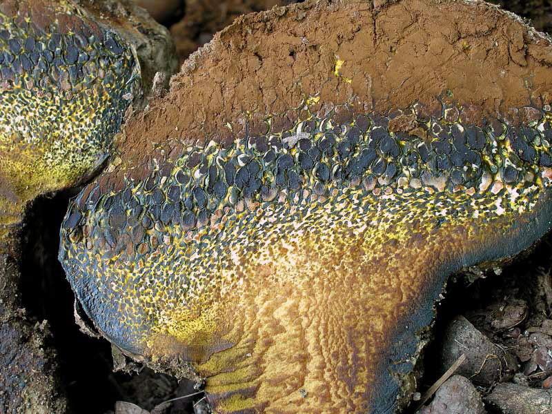 Pisolithus arhizus (Scop.) Rauschert (NON COMMESTIBILE) Foto Emilio Pini