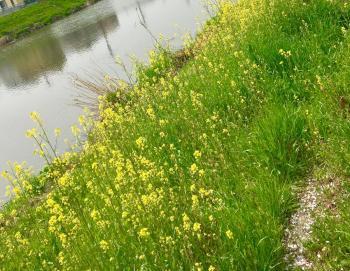 家の前の川沿いにもお花沢山咲いてるの!