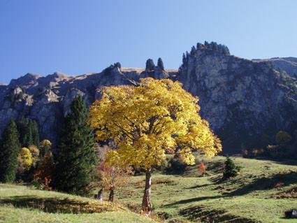 """Bergahorn im """"goldenen"""" Herbst"""
