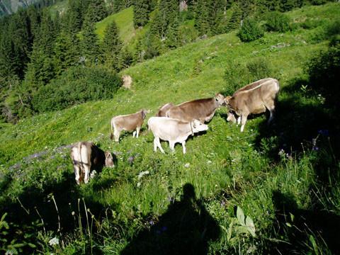 Jungtiere auf der Alpe