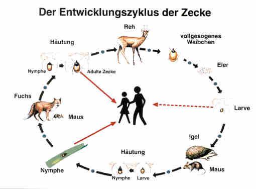 Entwicklungszyklus Zecken