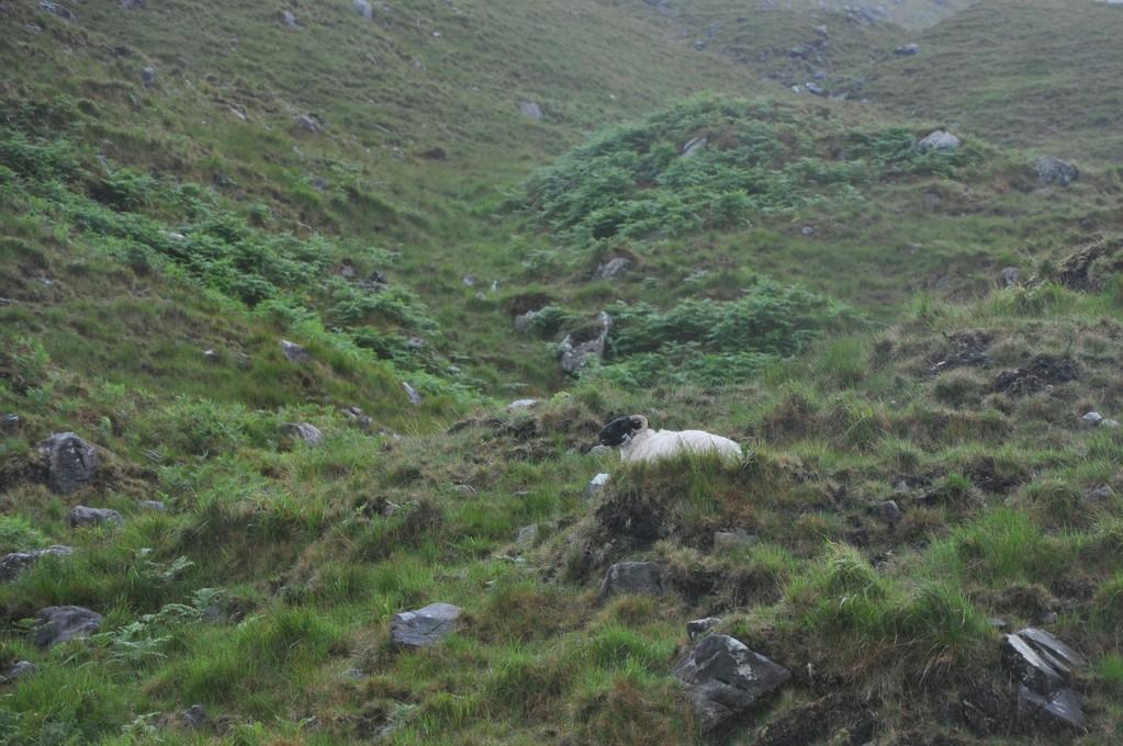 Mouton solitaire dans la lande