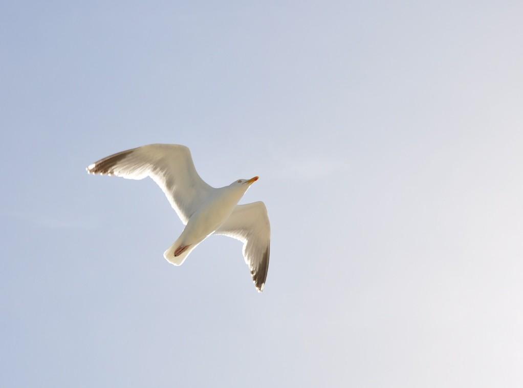 Goéland argenté s'élevant vers le ciel