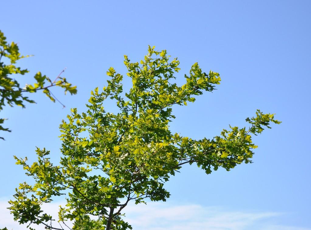 Chêne se dressant dans l'azur