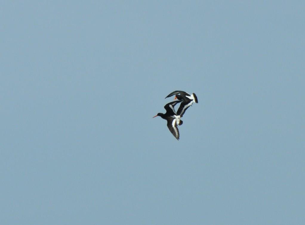 Huîtriers-pies réalisant des acrobaties aériennes
