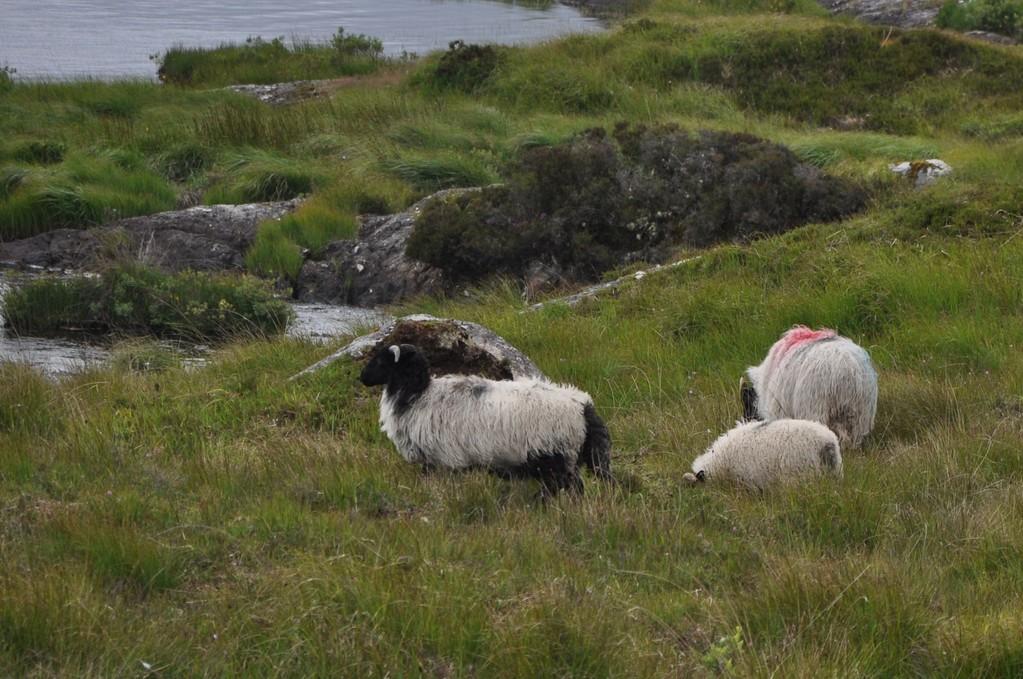 Moutons paissant tranquillement