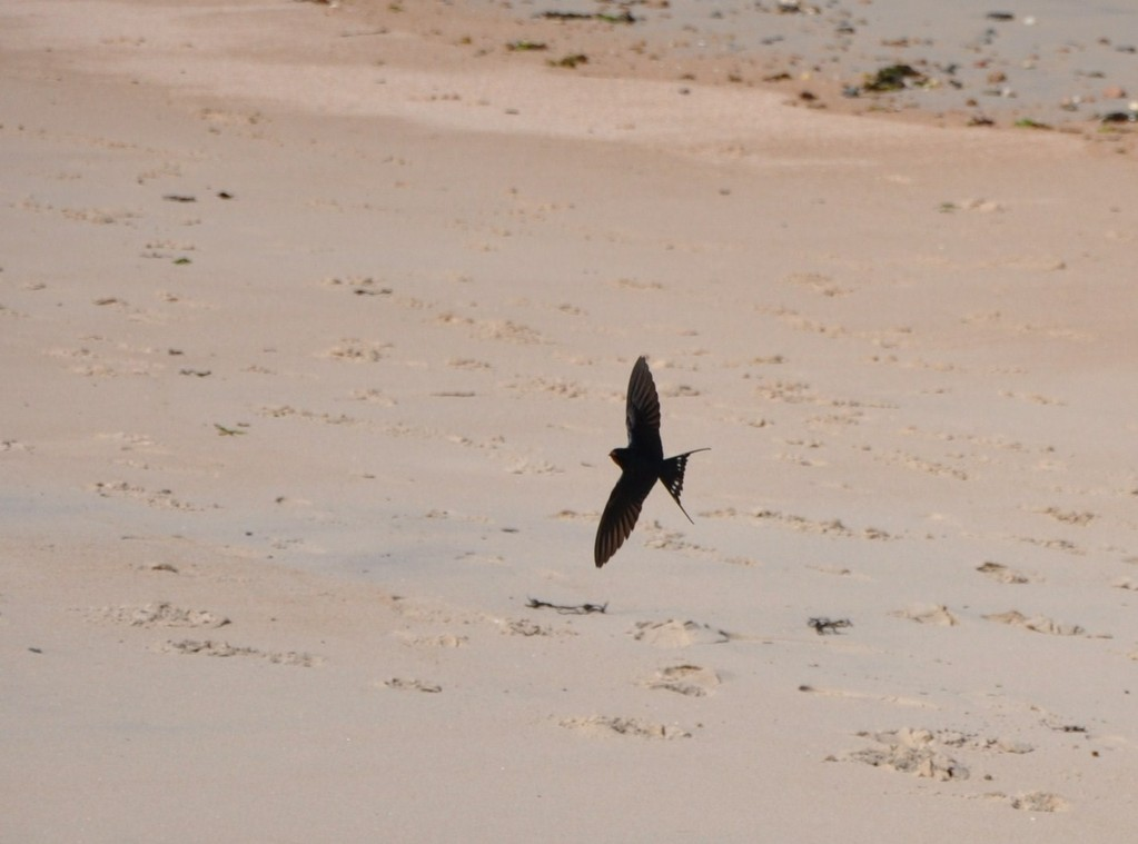 Hirondelle volant au-dessus de la plage