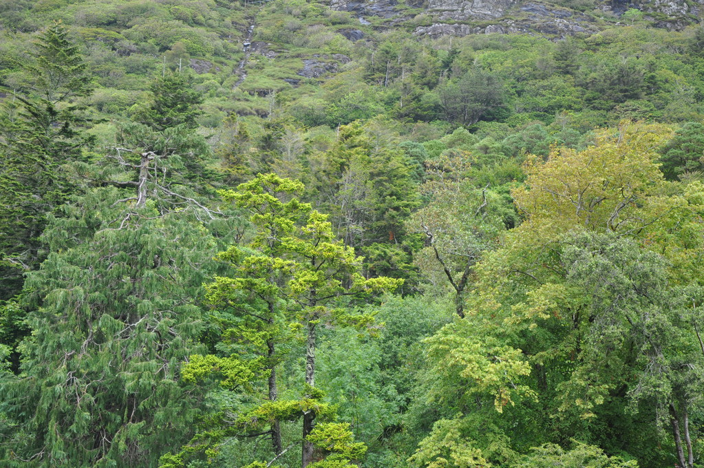 Arbres de Kylemore (en gaélique, grande forêt)