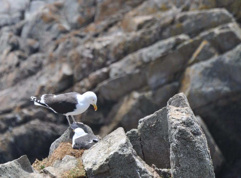 Goéland marin perché sur un rocher